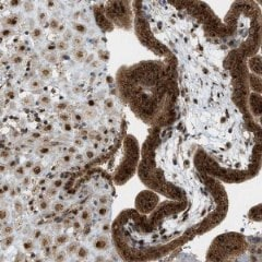 Immunohistochemistry (Formalin/PFA-fixed paraffin-embedded sections) - Anti-C10orf118  antibody (ab121440)