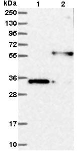 Western blot - Anti-MFAP3 antibody (ab121489)