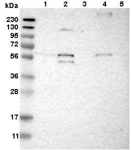 Western blot - Anti-ODR4 antibody (ab121495)