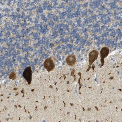 Immunohistochemistry (Formalin/PFA-fixed paraffin-embedded sections) - Anti-PLBD2 antibody (ab121526)