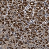 Immunohistochemistry (Formalin/PFA-fixed paraffin-embedded sections) - Anti-DNAJC14 antibody (ab121535)