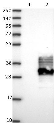 Western blot - Anti-FAM174A antibody (ab121607)