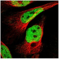 Immunocytochemistry/ Immunofluorescence - Anti-C9orf80 antibody (ab121623)