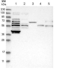 Western blot - Anti-KIAA1045 antibody (ab121643)