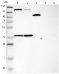 Western blot - Anti-SAMD9 antibody (ab121663)