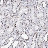 Immunohistochemistry (Formalin/PFA-fixed paraffin-embedded sections) - Anti-FAM205A antibody (ab121786)