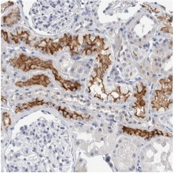 Immunohistochemistry (Formalin/PFA-fixed paraffin-embedded sections) - Anti-SLC22A12 antibody (ab121826)