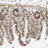 Immunohistochemistry (Formalin/PFA-fixed paraffin-embedded sections) - Anti-SLD5 antibody (ab121874)