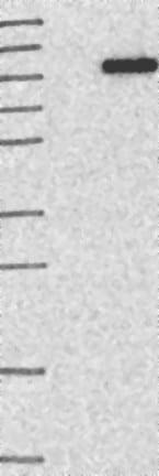 Western blot-Anti-C1orf25 antibody(ab121883)