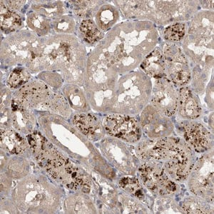 Immunohistochemistry (Formalin/PFA-fixed paraffin-embedded sections) - Anti-WDR47 antibody (ab121935)