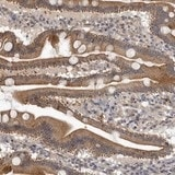Immunohistochemistry (Formalin/PFA-fixed paraffin-embedded sections) - Anti-NMUR1 antibody (ab121959)