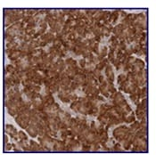 Immunohistochemistry (Formalin/PFA-fixed paraffin-embedded sections) - Anti-ARHGEF10L antibody (ab121972)