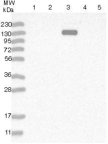 Western blot - Anti-MYOM3 antibody (ab121973)