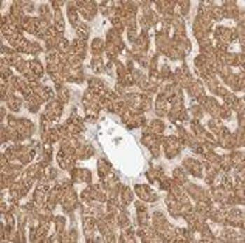 Immunohistochemistry (Formalin/PFA-fixed paraffin-embedded sections) - Anti-RSG1 antibody (ab121990)