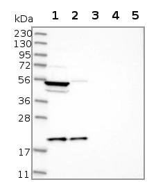 Western blot - Anti-MRPL18 antibody (ab122016)