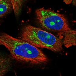 Immunocytochemistry/ Immunofluorescence - Anti-NOL7 antibody (ab122041)