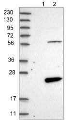 Western blot - Anti-FAM167B antibody (ab122052)
