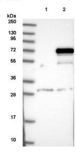 Western blot - Anti-MAGEE2 antibody (ab122118)
