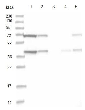 Western blot - Anti-PGGT1B antibody (ab122122)