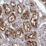 Immunohistochemistry (Formalin/PFA-fixed paraffin-embedded sections) - Anti-CLSTN2 antibody (ab122169)