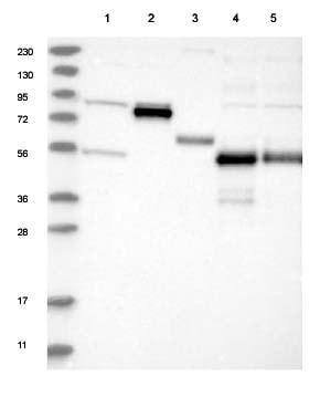 Western blot - Anti-GLT25D2 antibody (ab122192)