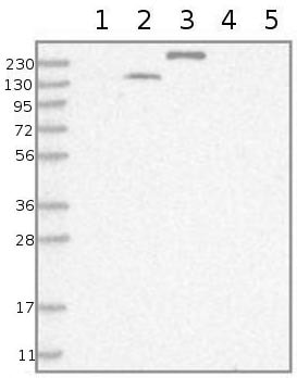 Western blot - Anti-TTC21B antibody (ab122282)
