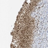 Immunohistochemistry (Formalin/PFA-fixed paraffin-embedded sections) - Anti-ZNF740 antibody (ab122290)