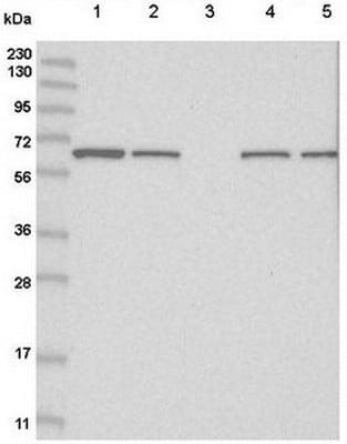 Western blot - Anti-FAM114A2 antibody (ab122298)
