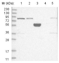 Western blot - Anti-SCLT1 antibody (ab122347)