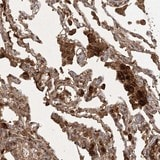 Immunohistochemistry (Formalin/PFA-fixed paraffin-embedded sections) - Anti-ARL13A antibody (ab122383)