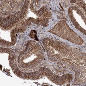Immunohistochemistry (Formalin/PFA-fixed paraffin-embedded sections) - Anti-OPA1L antibody (ab122401)