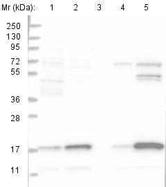 Western blot - Anti-C10orf32 antibody (ab122402)