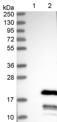 Western blot - Anti-C11orf52 antibody (ab122467)