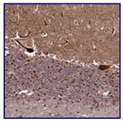Immunohistochemistry (Formalin/PFA-fixed paraffin-embedded sections) - Anti-GPCR GPR63 antibody (ab122532)