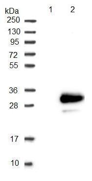 Western blot - Anti-TMEM98 antibody (ab122654)