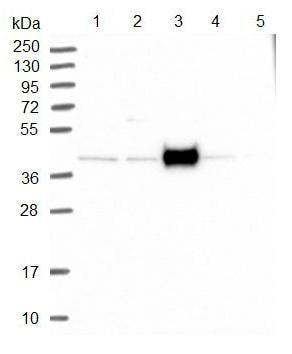 Western blot - Anti-FAM154B antibody (ab122655)