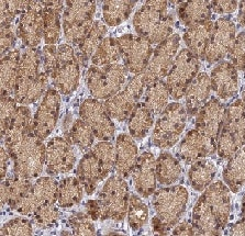 Immunohistochemistry (Formalin/PFA-fixed paraffin-embedded sections) - Anti-FAM73B antibody (ab122713)