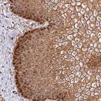 Immunohistochemistry (Formalin/PFA-fixed paraffin-embedded sections) - Anti-C15orf53 antibody (ab122755)