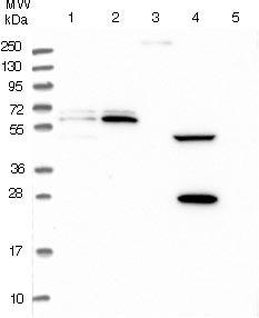 Western blot - Anti-PPAN antibody (ab122844)