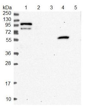 Western blot - Anti-LEKR1 antibody (ab122866)