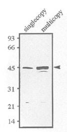 Western blot - Anti-sds23 antibody (ab122925)