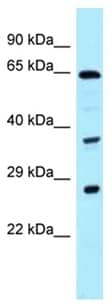 Western blot - Anti-CDC37L1 antibody (ab123006)