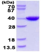 SDS-PAGE - PANK1 protein (ab123146)