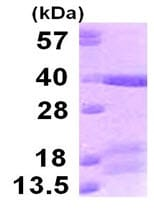 SDS-PAGE - TICAM2 protein (ab123160)