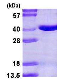 SDS-PAGE - Pirin protein (His tag) (ab123170)
