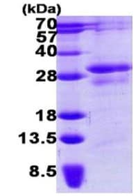 SDS-PAGE - STYX protein (His tag) (ab123197)