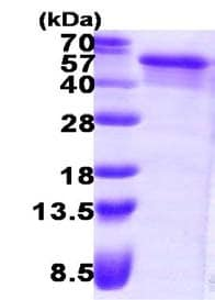 SDS-PAGE - NEIL1 protein (ab123204)