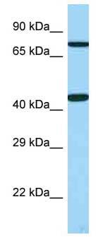 Western blot - Anti-GPCR GPR14 antibody (ab123234)
