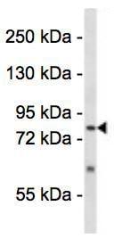 Western blot - Anti-SENP5 antibody (ab123262)