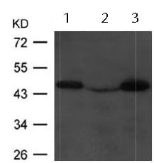 Western blot - Anti-CNPase antibody (ab123381)